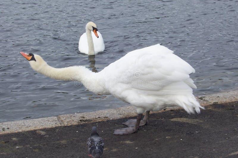 Olor do Cygnus da cisne muda imagem de stock royalty free