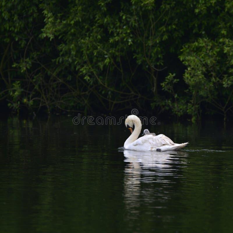 Olor hermoso del cygnus del cisne mudo con el pollo del cisne en acro de deslizamiento trasero fotos de archivo libres de regalías