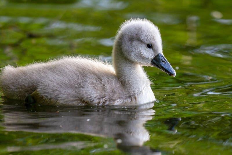 Olor joven hermoso del Cygnus del pollo del cisne del cisne mudo en el río fotos de archivo libres de regalías