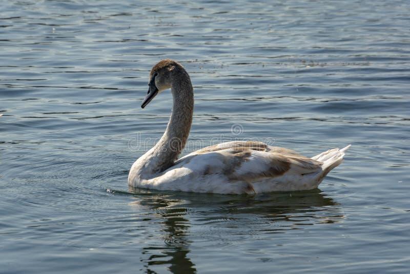 Olor van jonge zwaancygnus Zeldzame bedreigde zwanen op het meer iin Goryachiy Klyuch stock fotografie