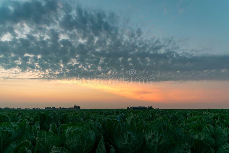 Olorful skymninghimmel med skarpt definierade altocumulusmoln över ett kålfält i Nederländerna arkivfoto