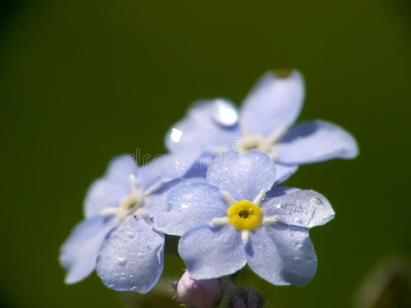Olvídeme no flor imagen de archivo libre de regalías