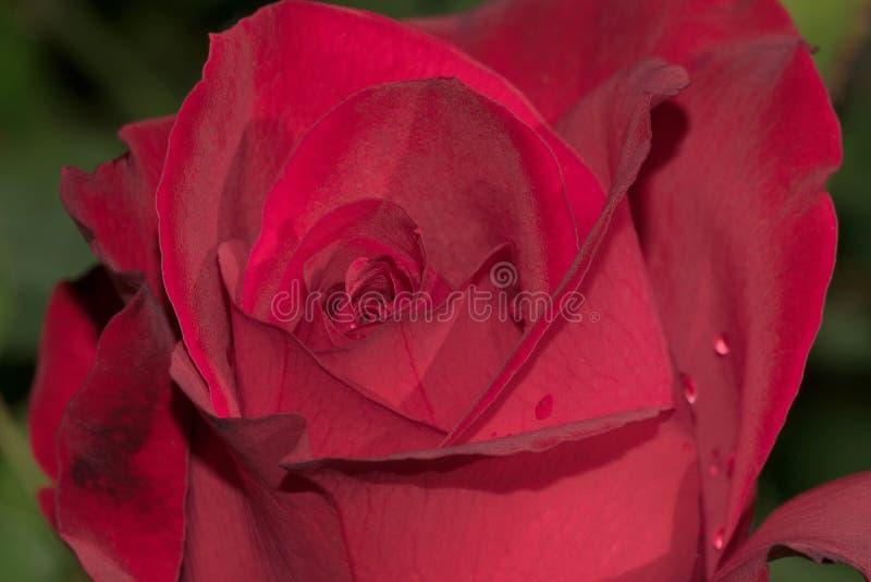 Olympiad röda Rose Flower fotografering för bildbyråer