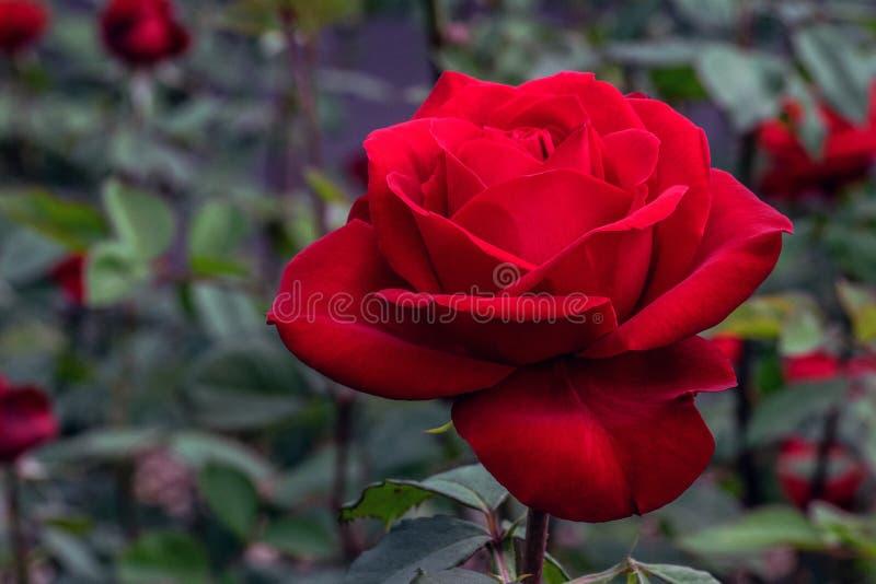 Olympiad röda Rose Flower arkivfoto