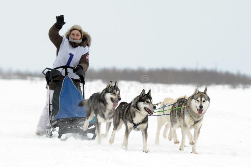 Olympics northern aboriginals. Russia. Yamal. Nadym. Olympics northern aboriginals. Feast Day of deer. Racing Dog upryazhkah.Arktika. Russia . Yamal royalty free stock images