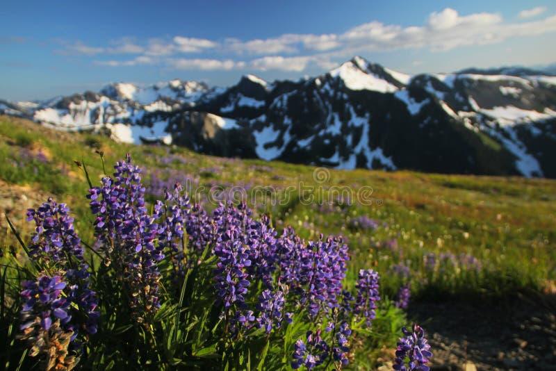 Olympische Berg Lupine stock afbeelding