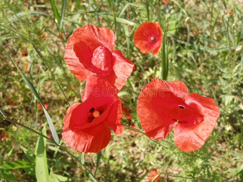 Wild red poppies bloom in the field. Summer. Wild red poppies bloom in the field. Summer day stock images