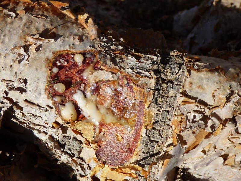 Omã, Salalah, opinião do close-up da resina da planta que se transformará, uma vez que secado, incenso excelente da qualidade foto de stock royalty free
