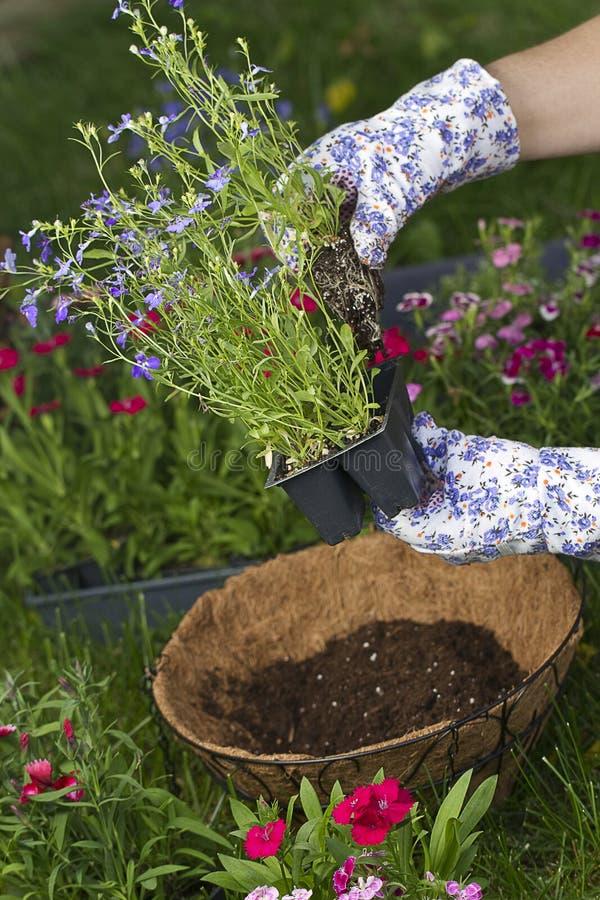 Om att plantera den hängande korgen royaltyfri foto