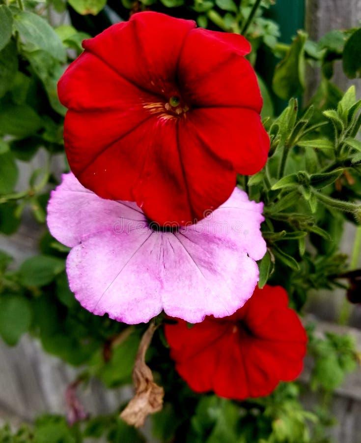 Oma's die bloemen hangen royalty-vrije stock afbeeldingen