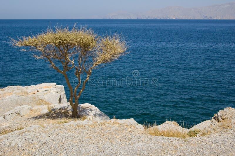 oman morza drzewo obraz stock