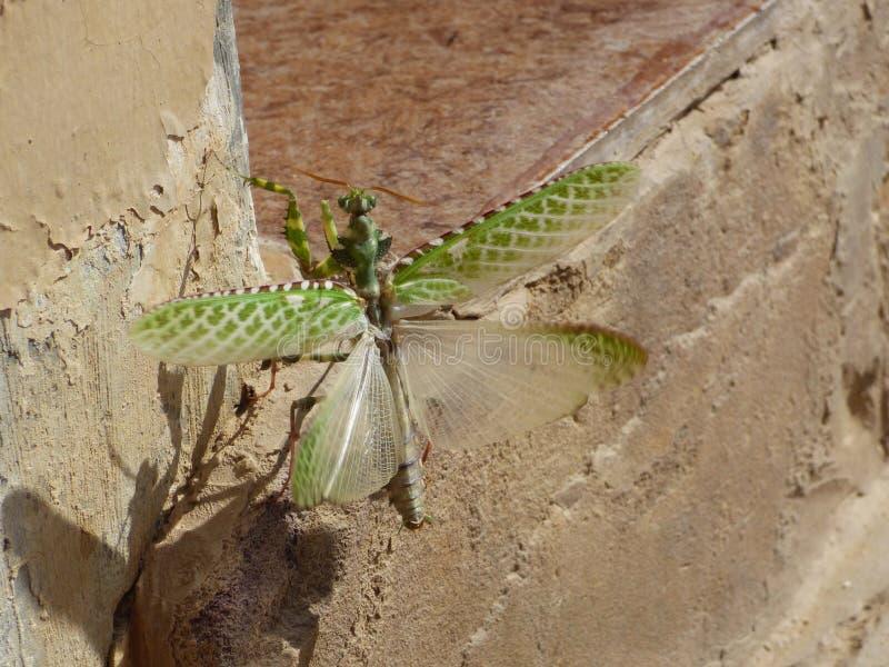 Oman, Salalah, close-upmening van een bidsprinkhaan ongeveer om met uitgespreide vleugels te vliegen stock afbeeldingen