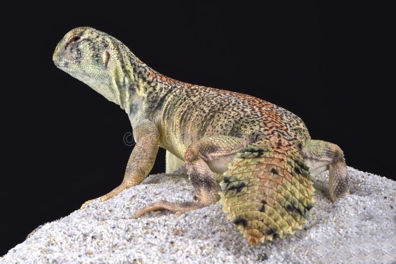 Omanense espinhoso-atou o lagarto (o thomasi de Uromastyx) fotografia de stock
