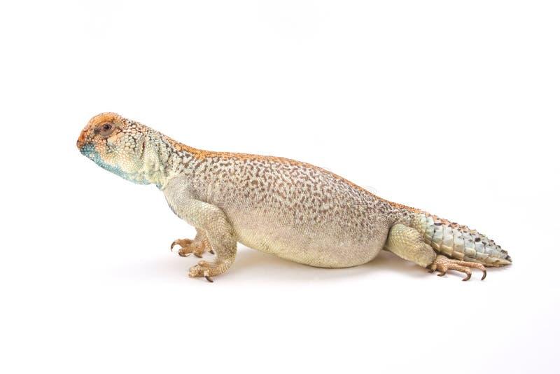 Omanense espinhoso-atou o lagarto (o thomasi de Uromastyx) fotos de stock royalty free