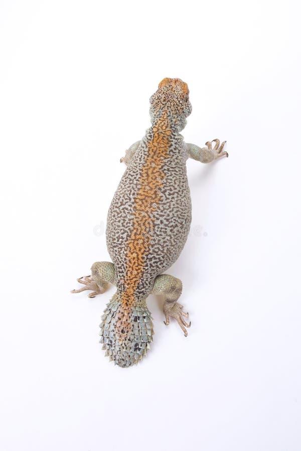 Omanense espinhoso-atou o lagarto (o thomasi de Uromastyx) imagens de stock