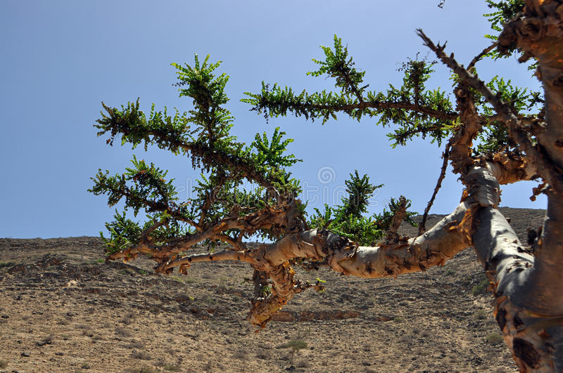 Omani frankincense tree royalty free stock images
