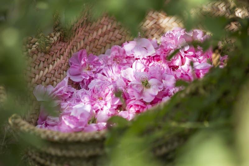 Omani mens met roze bloemblaadjes om rozewater te maken dat als traditionele geneeskunde wordt gebruikt; schoonheidsmiddelen; voe royalty-vrije stock afbeeldingen
