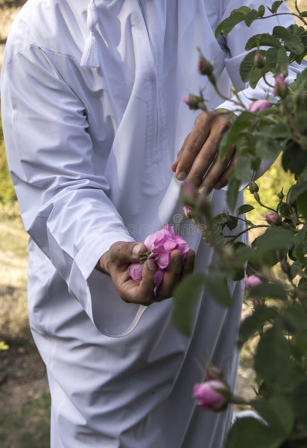 Omani mens met roze bloemblaadjes om rozewater te maken dat als traditionele geneeskunde wordt gebruikt; schoonheidsmiddelen; voe stock fotografie