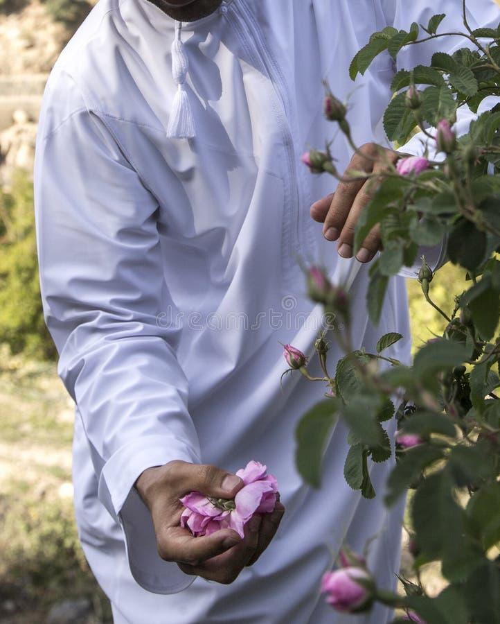 Omani mens met roze bloemblaadjes om rozewater te maken dat als traditionele geneeskunde wordt gebruikt; schoonheidsmiddelen; voe royalty-vrije stock afbeelding