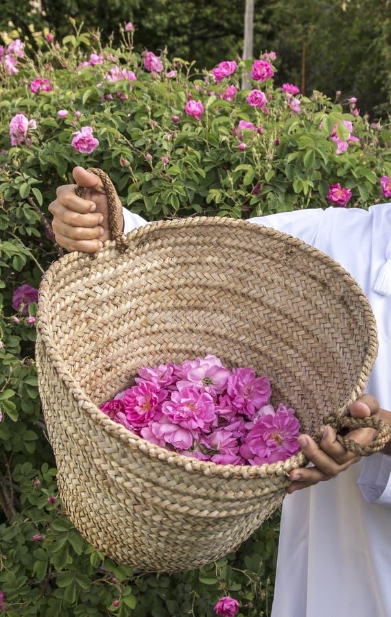 Omani mens met roze bloemblaadjes om rozewater te maken dat als traditionele geneeskunde wordt gebruikt; schoonheidsmiddelen; voe royalty-vrije stock fotografie