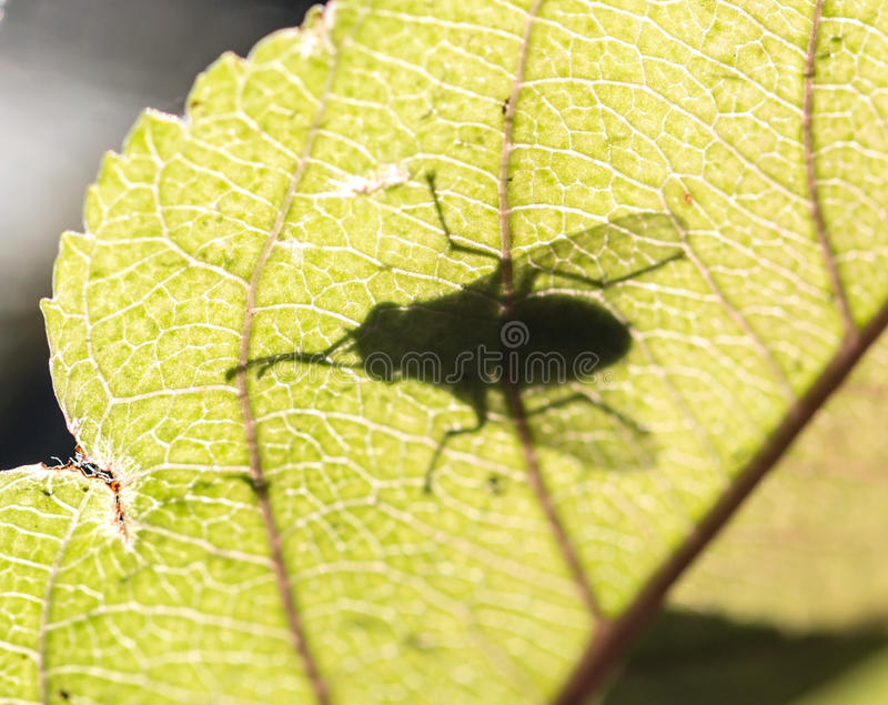 Ombra di una mosca su una foglia fotografie stock