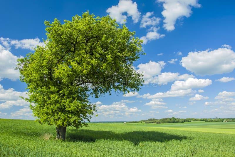 Ombra sotto un grande albero nel campo immagini stock libere da diritti