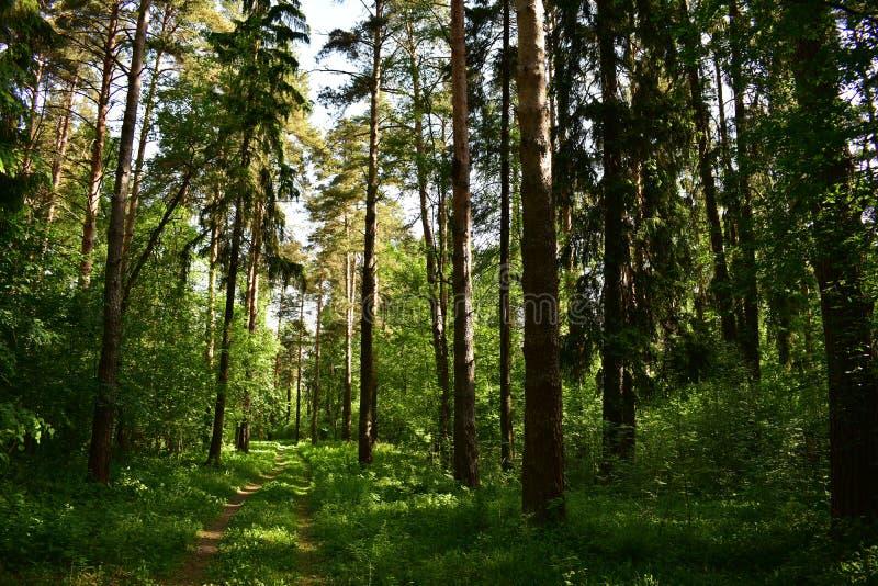 Ombrageant avec ses pattes puissantes la terre, le pin et les sapins remplaçant des arbustes et des arbres image libre de droits