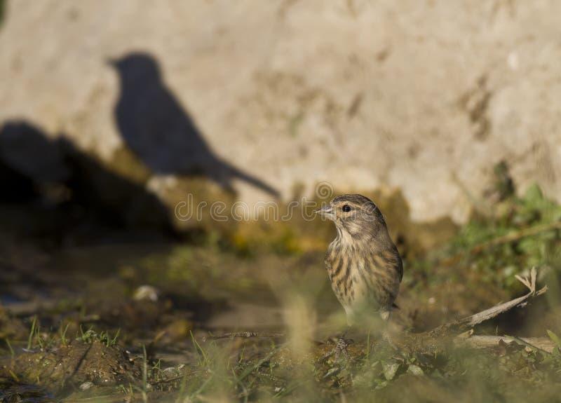Ombre d'un oiseau images libres de droits