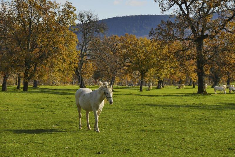 Ombre di andata di contrasto della passeggiata del cavallo bianco forti immagini stock
