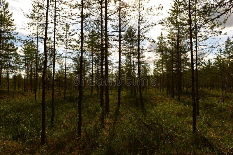 Ombre e sole mattutino sulla copertura verde delle piante nella foresta delle paludi fotografia stock libera da diritti
