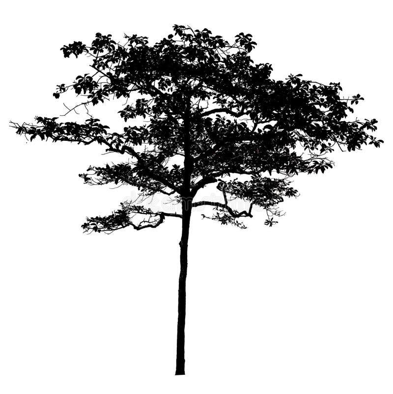 Ombre nere, grandi alberi che completamente sono isolati su un fondo bianco fotografie stock libere da diritti