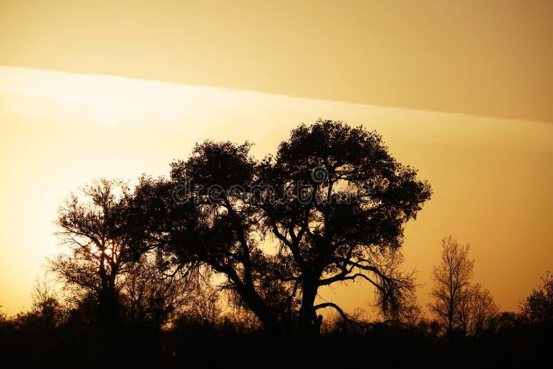 Ombre noire des arbres de Populus au coucher du soleil photographie stock