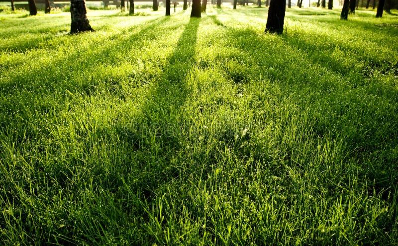 Ombre sull'erba bagnata verde di mattina fotografia stock