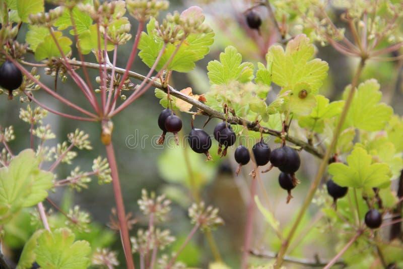 Ombrelle nere dell'aneto e dell'uva spina fotografie stock