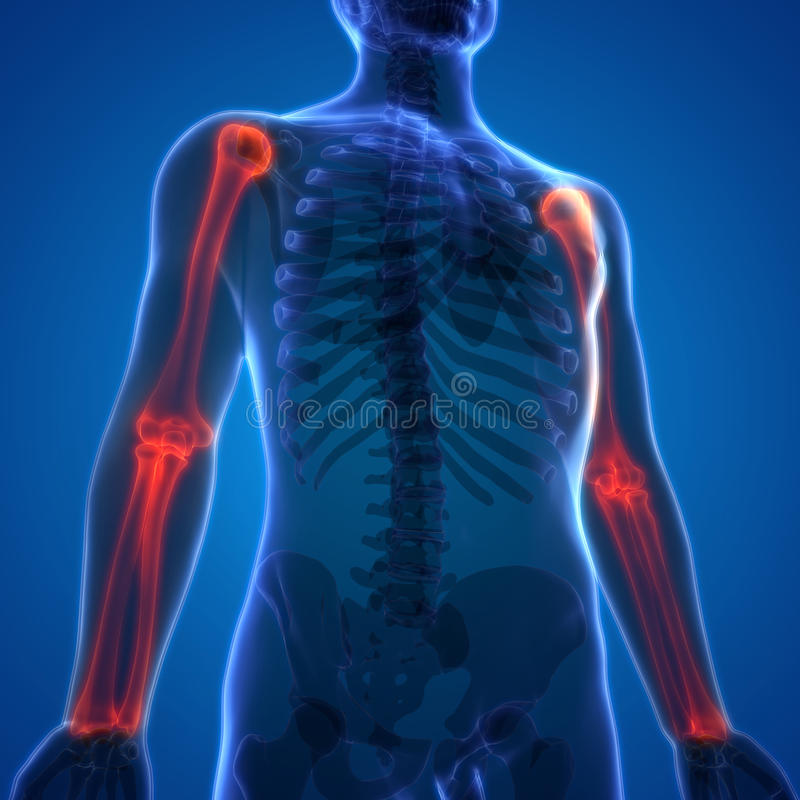 Omero di anatomia di dolori articolari dell'osso del corpo umano con il raggio e l'ulna illustrazione vettoriale