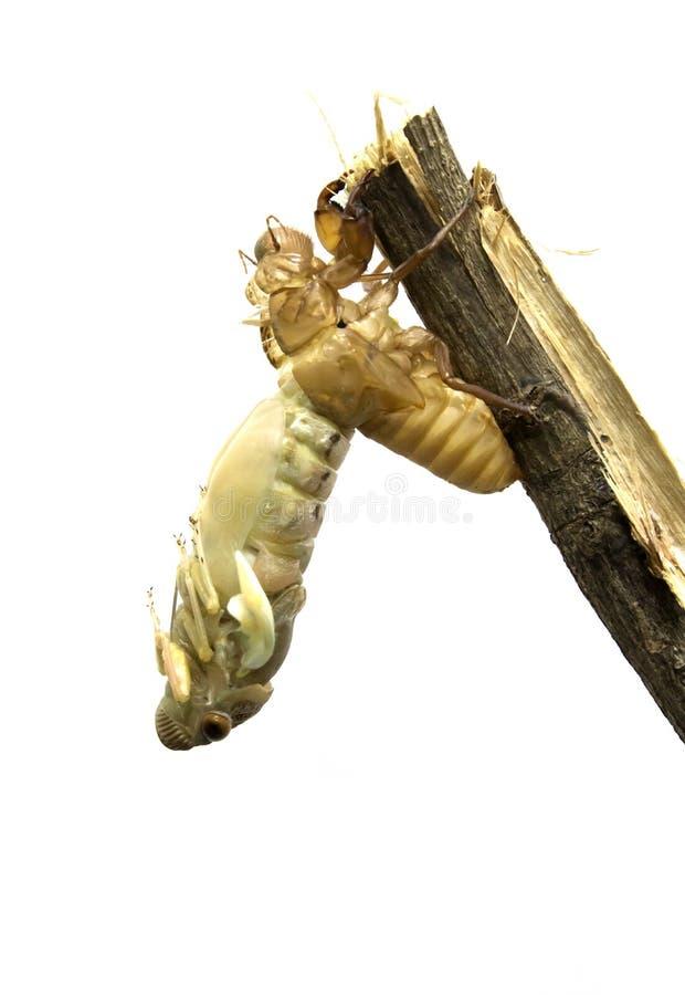 omformning för ruggning för metamorphosis för vuxen last för cikadacicadidaekryp latinsk Sista ruggning - transforen arkivfoton