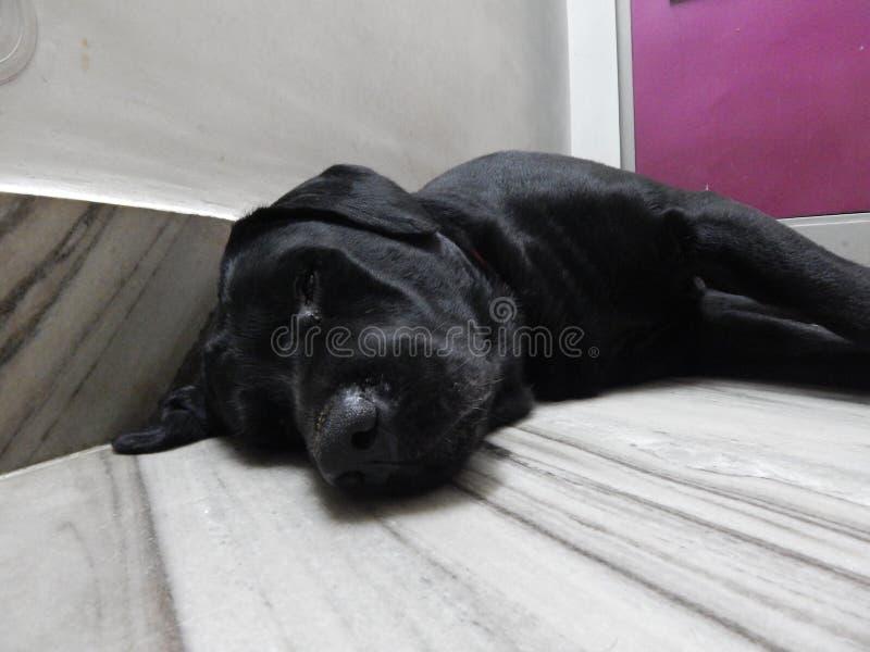 !! OMG! 1INNOCENT拉布拉多狗,获得乐趣 免版税库存照片