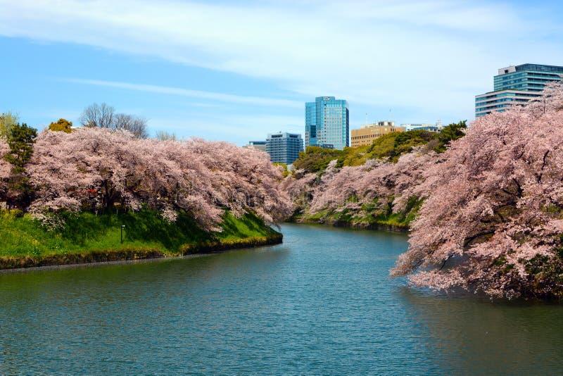 Omger med vallgrav träd för räkning för körsbärsröda blomningar för vår längs den iconic Chidorigafuchien i Tokyo, Japan royaltyfria foton