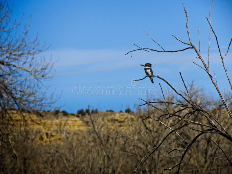 Omgorde Ijsvogel stock afbeelding