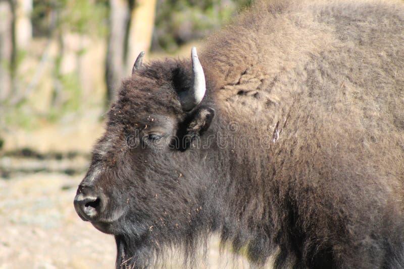 Omhoog dichte bizon royalty-vrije stock afbeeldingen