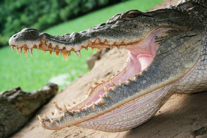 Omhoog Dichte krokodil royalty-vrije stock afbeelding