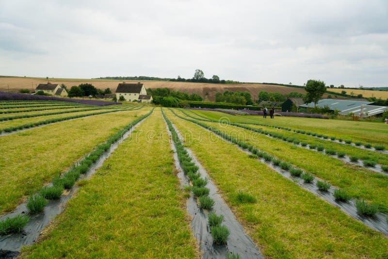 Omhoog geplant lavendelgebied stock afbeeldingen