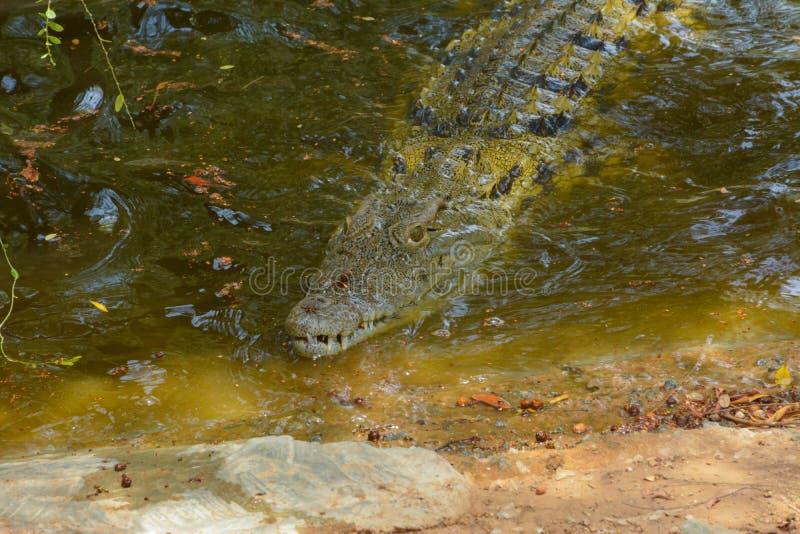 Omhoog geschoten krokodil dicht stock afbeeldingen