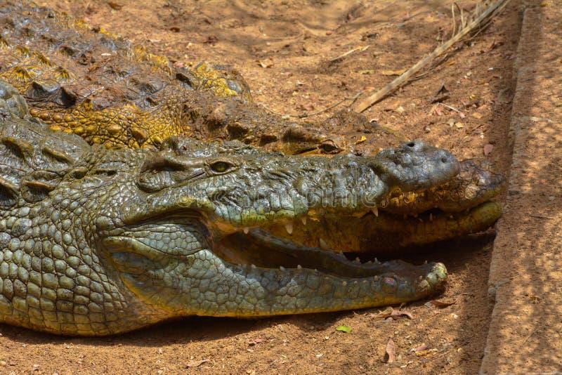 Omhoog geschoten krokodil dicht royalty-vrije stock foto's
