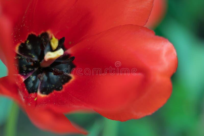 Omhoog geschoten tulpen macro dicht stock foto