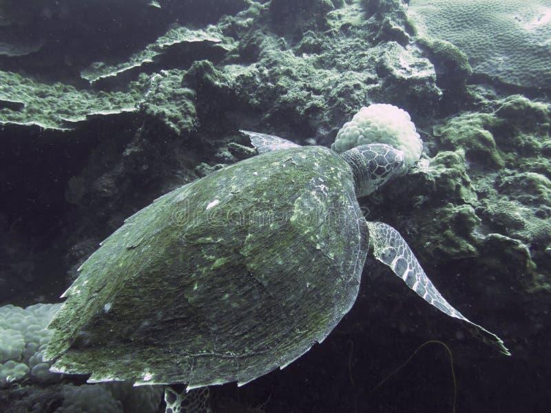 Omhoog gesloten de schildpad in andaman het noorden, Thailand royalty-vrije stock afbeelding