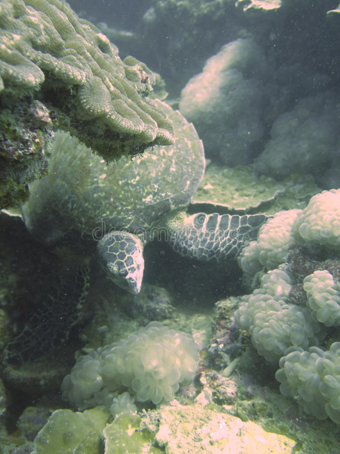 Omhoog gesloten de schildpad in andaman het noorden, Thailand stock fotografie