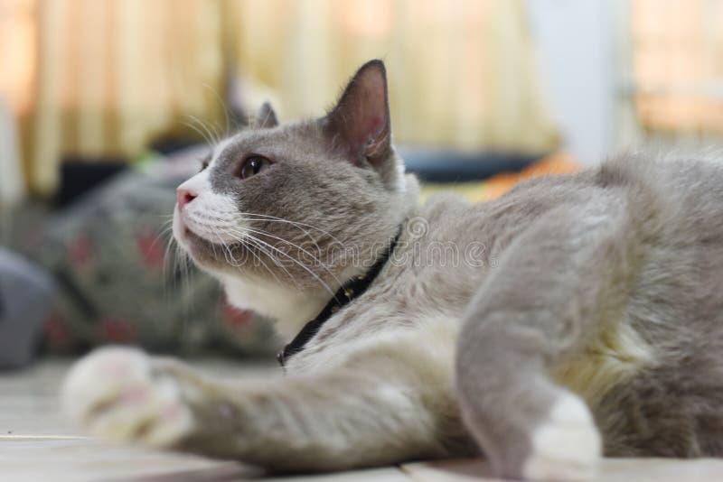 Omhoog gesloten de vettige grijze kat slaapt op een vloer stock fotografie