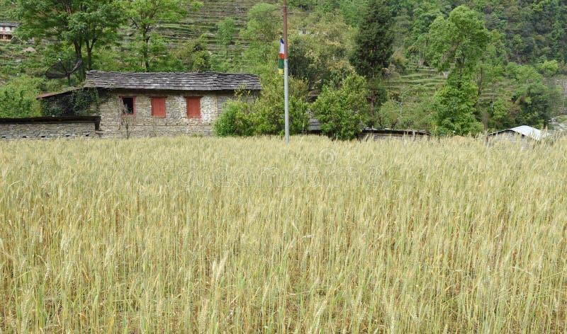 Omhoog gesloten het gerstgebied in Nepal royalty-vrije stock fotografie