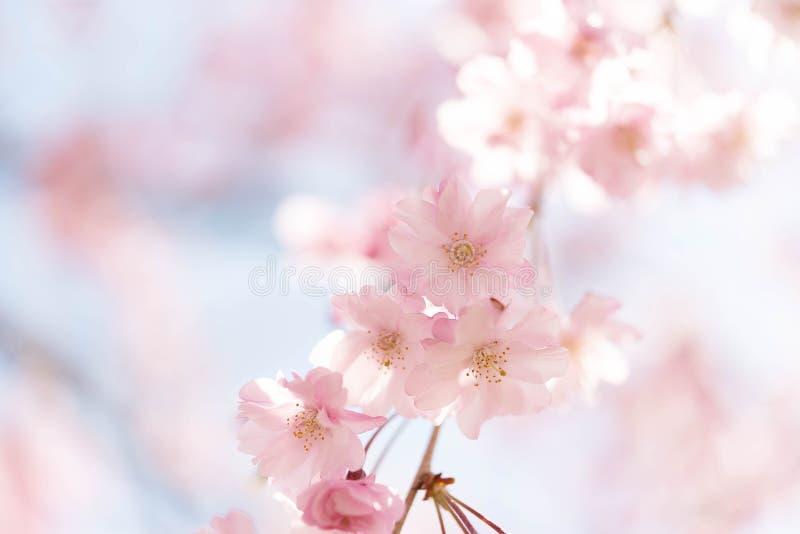 Omhoog gesloten op lichtrose vrolijke die bloesem, sakura door zonlicht in Osaka Japan wordt aangestoken stock foto's